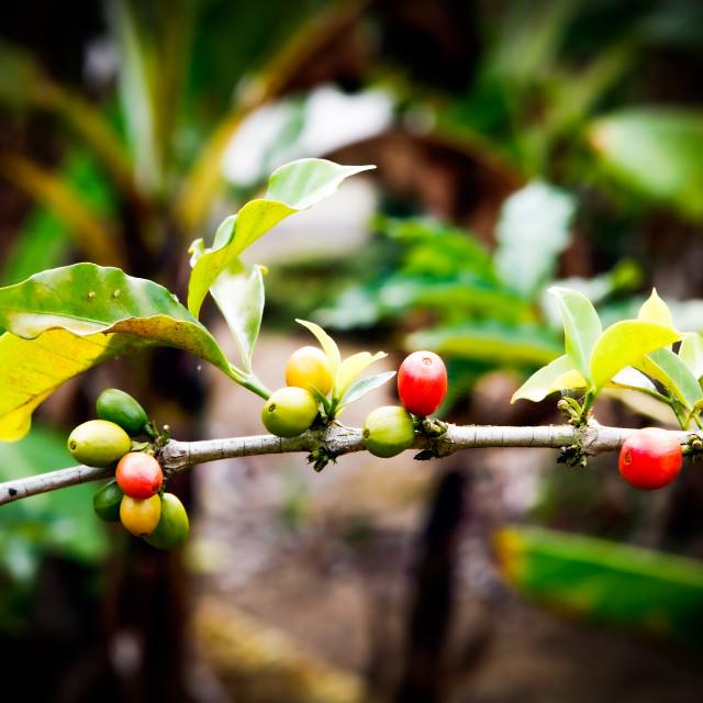 """Kaffeepflanze"" stock image"