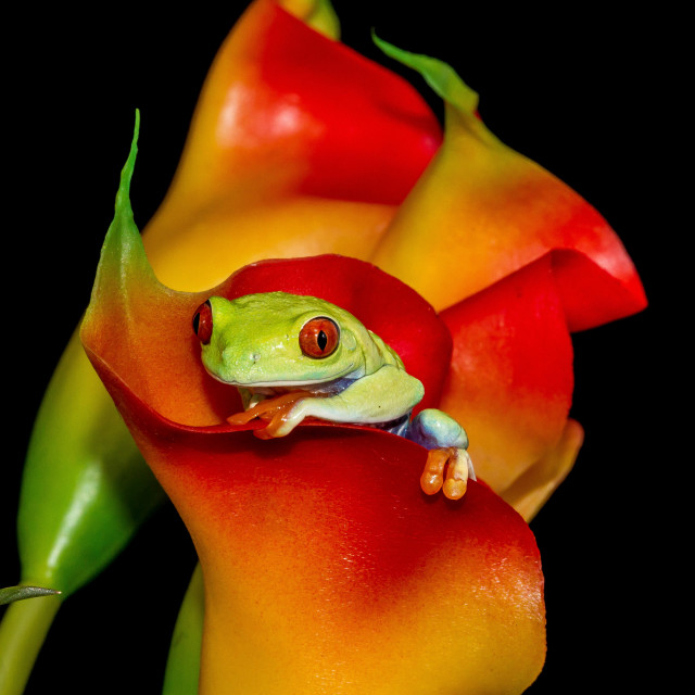 """Calla lily frog"" stock image"