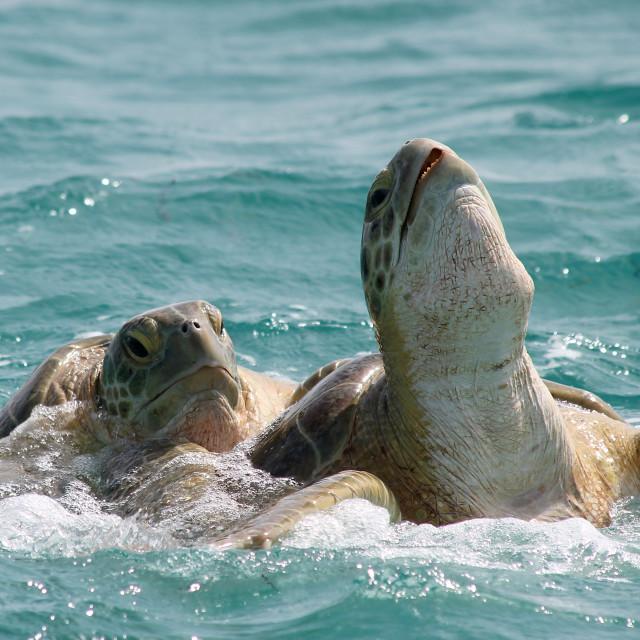 """Mating sea turtles Holbox, Mexico"" stock image"