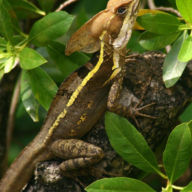 """Lizard, Yucatán peninsula, Mexico"" stock image"