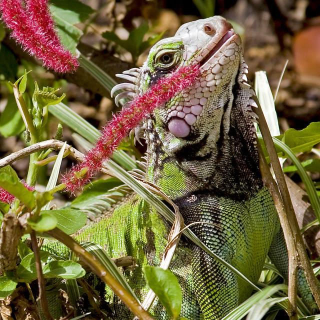 """Lizard, Saint John, US Virgin Islands"" stock image"