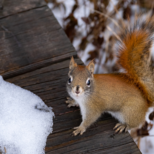 """""""Red squirrel greeting on winter boardwalk"""" stock image"""