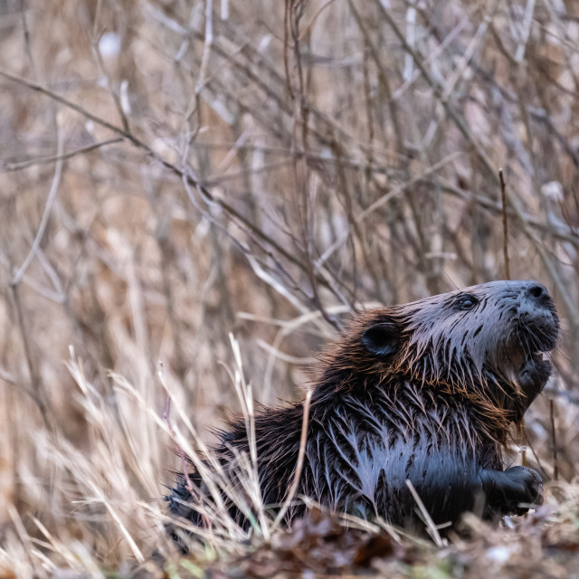 """""""Wet Canadian beaver emerges from dry grass"""" stock image"""