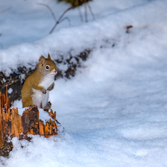 """""""Red squirrel perched on stump above snow"""" stock image"""