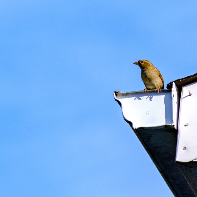 """""""House sparrow perched on eavestrough"""" stock image"""