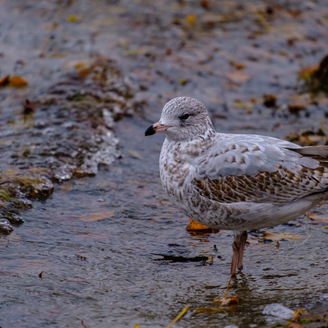 """""""Seagull standing in river water's waves"""" stock image"""