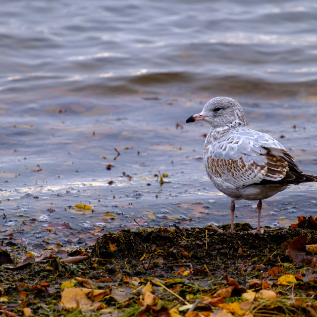 """""""Seagull stands at river's edge"""" stock image"""