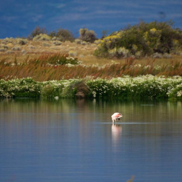 """""""Wading Flamingo, Laguna Nimez"""" stock image"""
