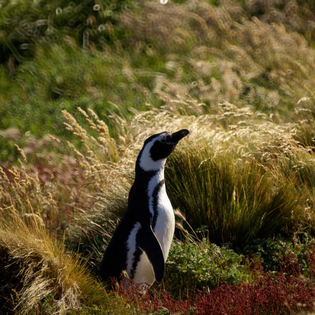 """""""Penguin Searching"""" stock image"""