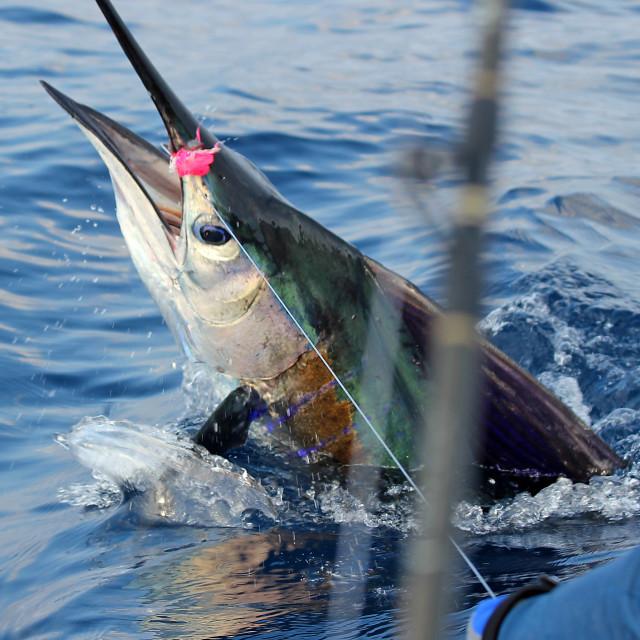 """Sailfish, Puerto Vicente, Mexico"" stock image"