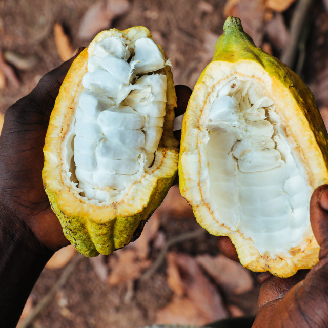"""""""Cultivation of cocoa plants by a smallholder"""" stock image"""