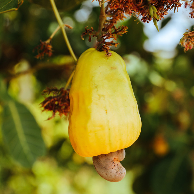 """""""growing of cashew nuts"""" stock image"""
