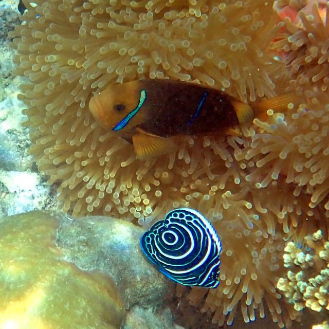 """Clown fish and angelfish"" stock image"