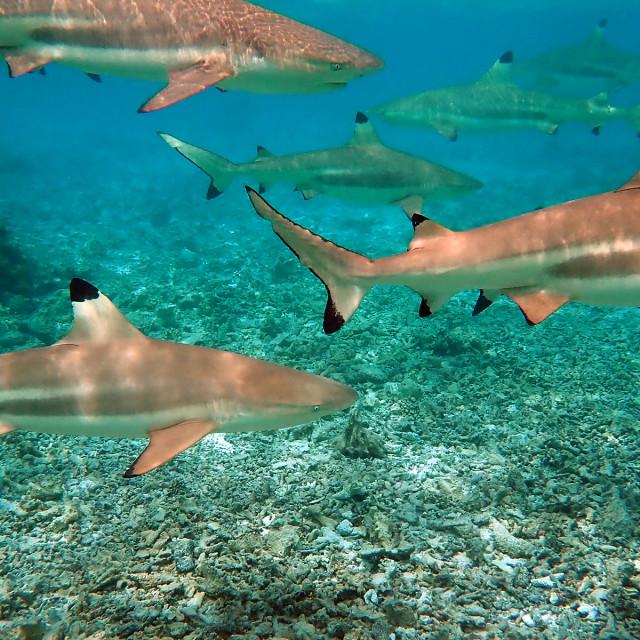 """Blacktip shark's, Bora-Bora"" stock image"