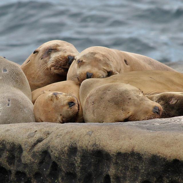 """""""Sea lions, La Jolla California"""" stock image"""