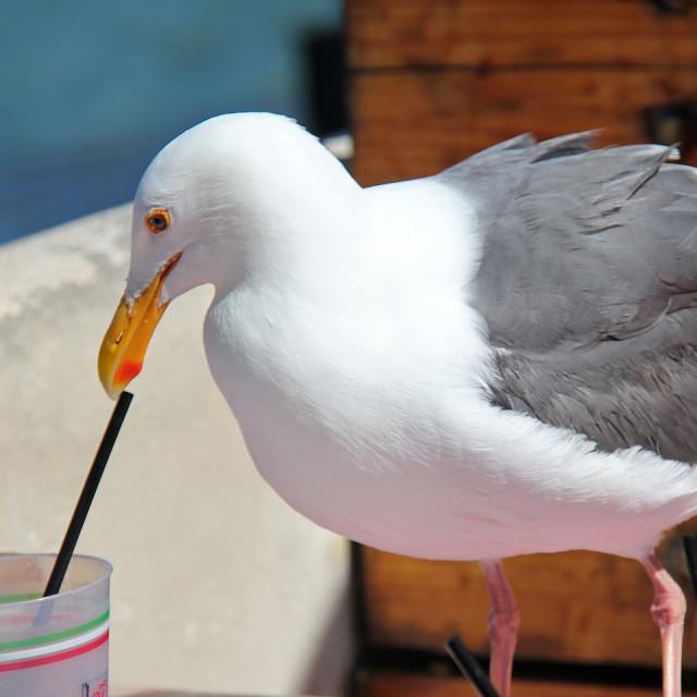"""Seagull, Catalina Island"" stock image"