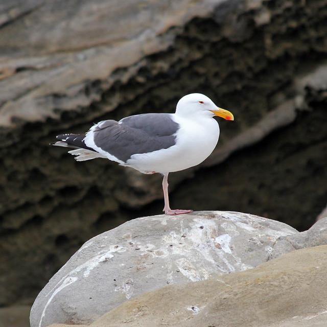 """Seagull, La Jolla California"" stock image"