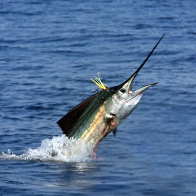 """Sail fish, San Vicente, Mexico"" stock image"