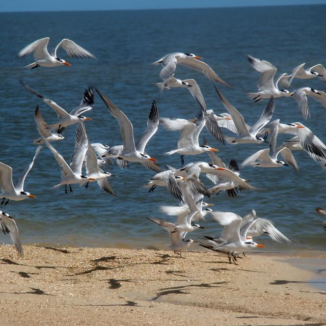 """Seagulls, nameless Island, Florida Keys"" stock image"