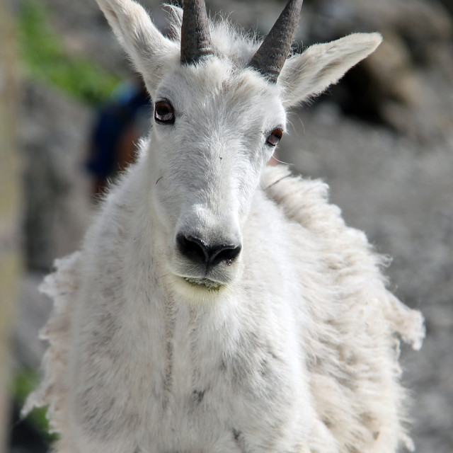 """Mountain goat, glacier national Park, Montana"" stock image"