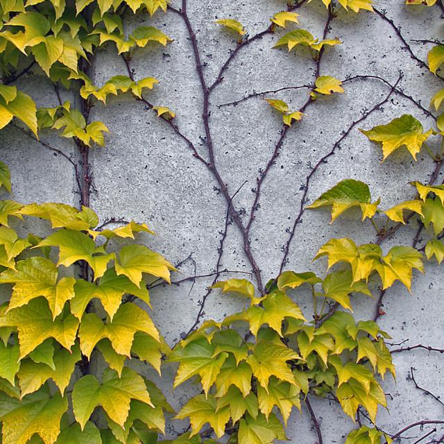 """Vine maple, Normandie, France"" stock image"