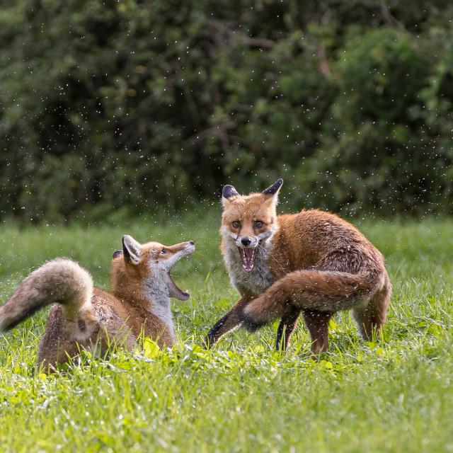 """""""Red fox, Vulpes vulpes"""" stock image"""