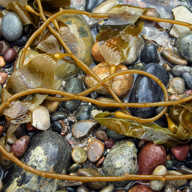 """Pebbles and kelp, Big Sur coast, California"" stock image"