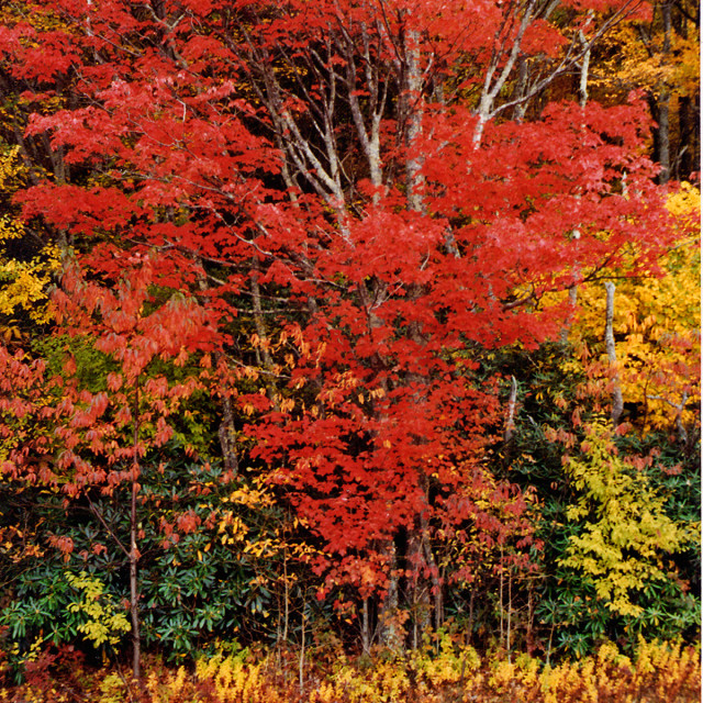 """""""Fall Color, Blue Ridge Parkway"""" stock image"""