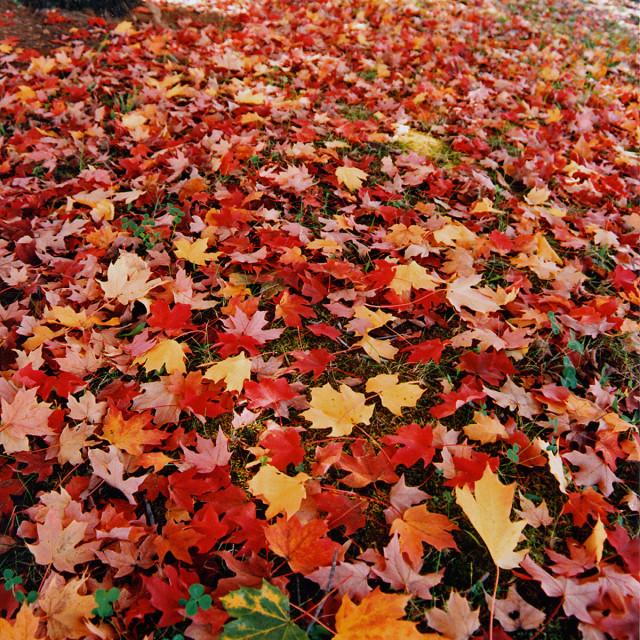 """FallMaple leaves, Greensboro North Carolina"" stock image"