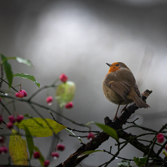 """Christmas Festive Robin"" stock image"