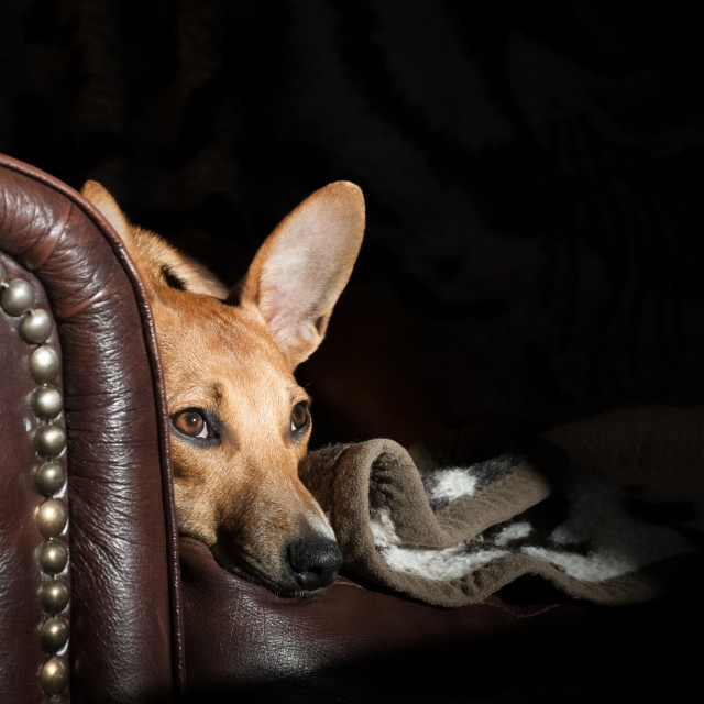 """dog on a leather sofa"" stock image"