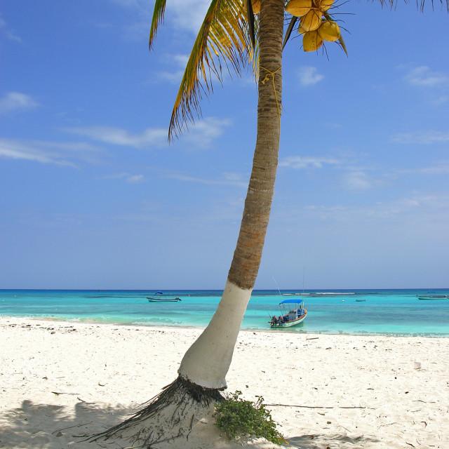 """Palm tree , Xpu-ha, Mexico"" stock image"