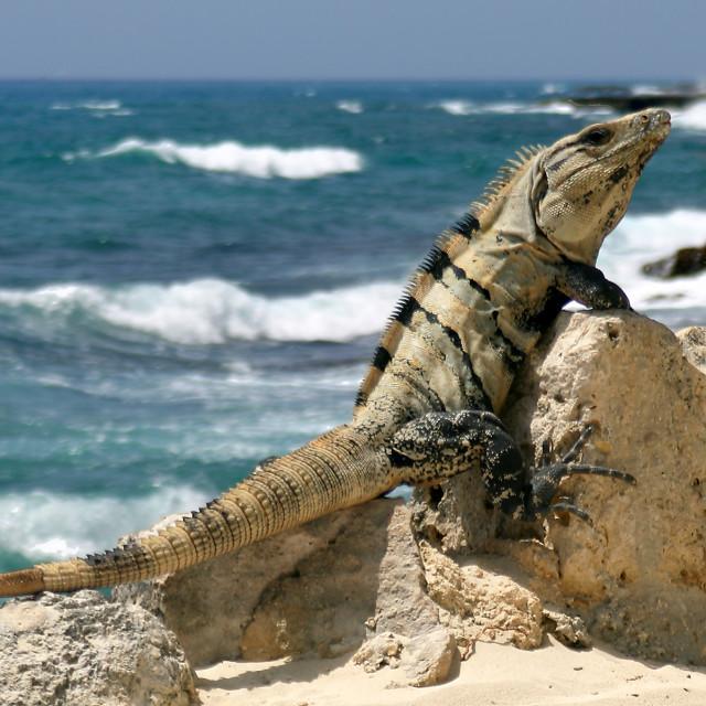"""""""Iguana, Xcaret, Mexico"""" stock image"""