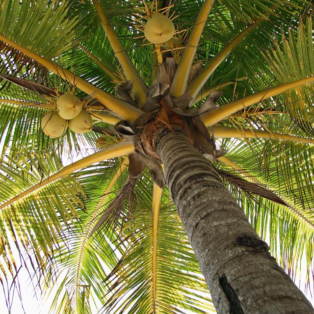 """Palm tree, Xpu-ha, Mexico"" stock image"