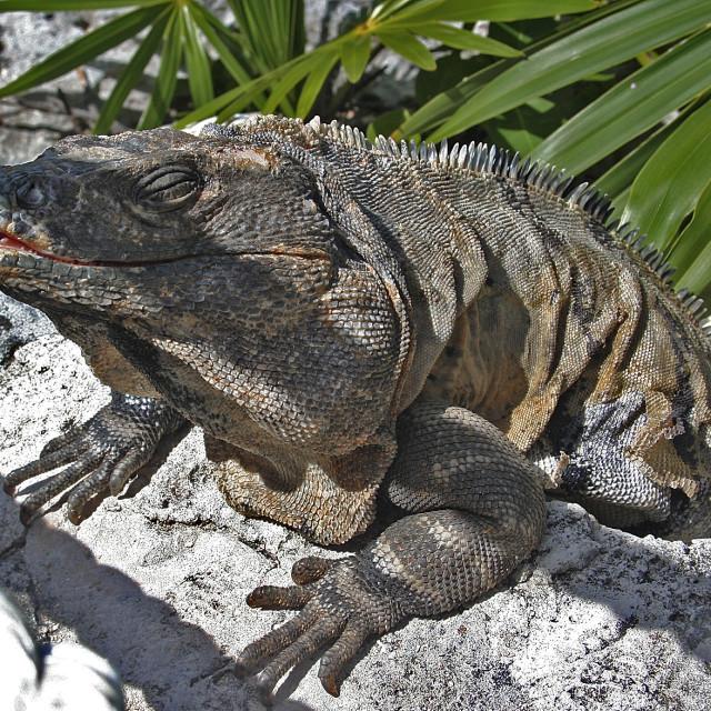 """Amused iguana, riviera Maye, Mexico"" stock image"