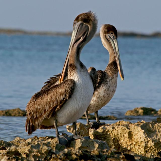 """""""Pelicans, Riviera Maye, Mexico"""" stock image"""