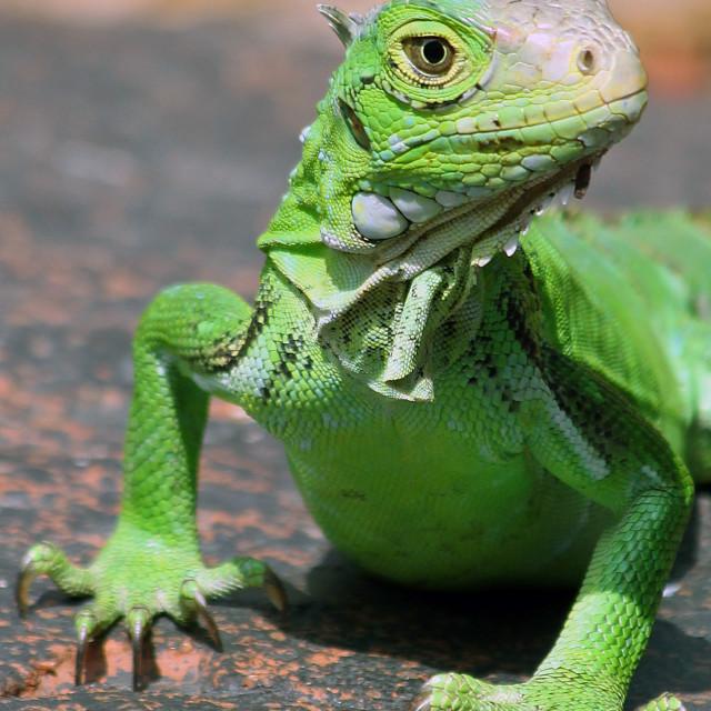 """Green lizard, Saint John"" stock image"