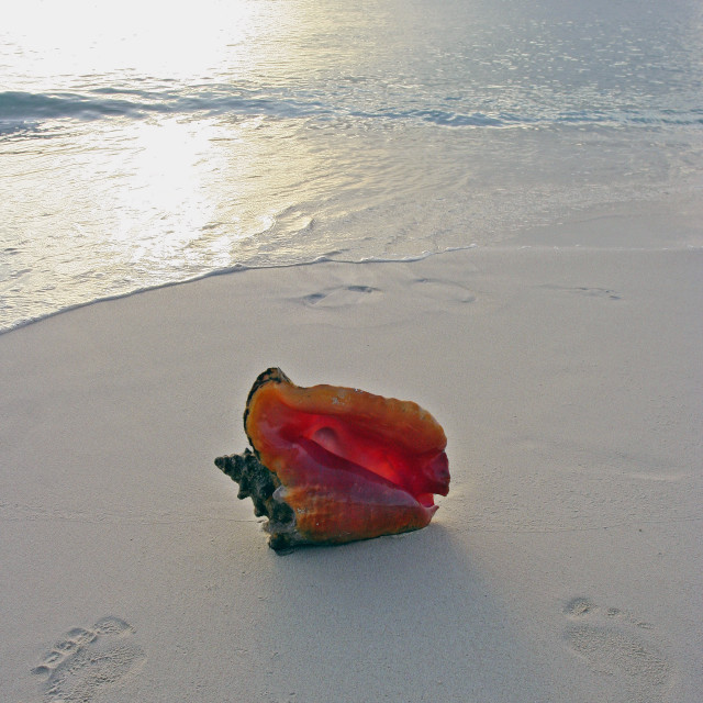 """""""Conch shell and foot prints, Grand Cayman Island"""" stock image"""