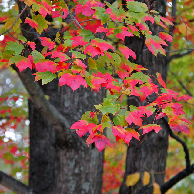 """Red maple, Greensboro North Carolina"" stock image"
