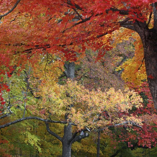 """Maple trees, Forest lawn cemetery, Greensboro, North Caroli"" stock image"