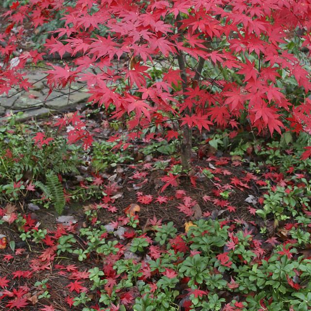 """Japanese maple, Greensboro, North Carolina"" stock image"