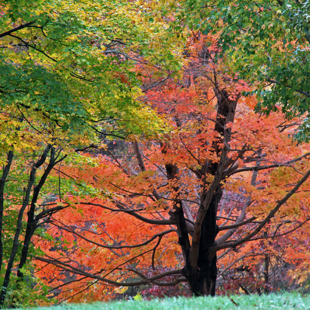 """""""Maples, Forest lawn cemetery, Greensboro"""" stock image"""