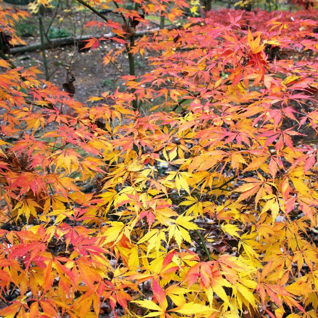 """Japanese maple, backyard, Greensboro North Carolina"" stock image"