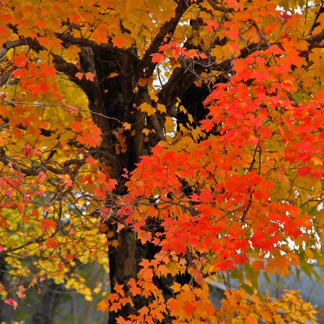 """Red maple, Irving Park, North Carolina"" stock image"