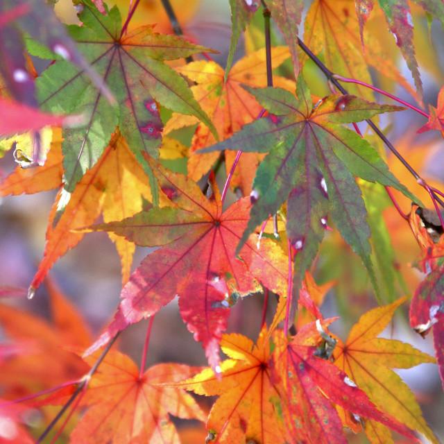 """Japanese maple, backyard, Greensboro, North Carolina"" stock image"