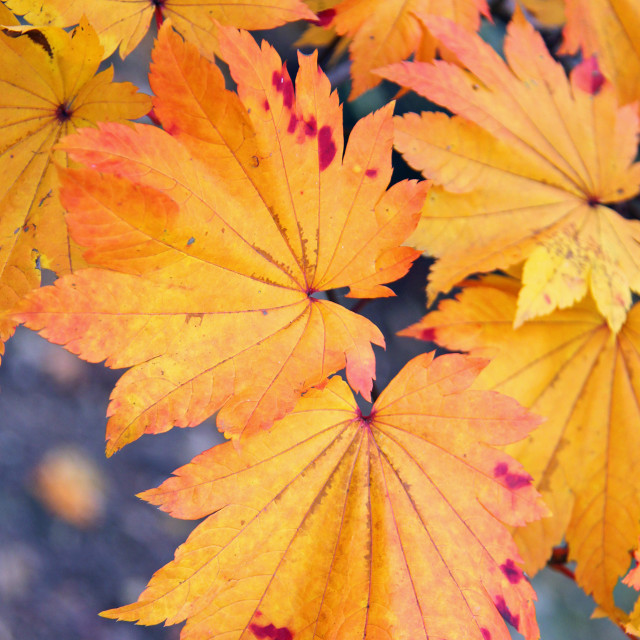 """Japanese maple, backyard, Greensboro, North Carolina,"" stock image"