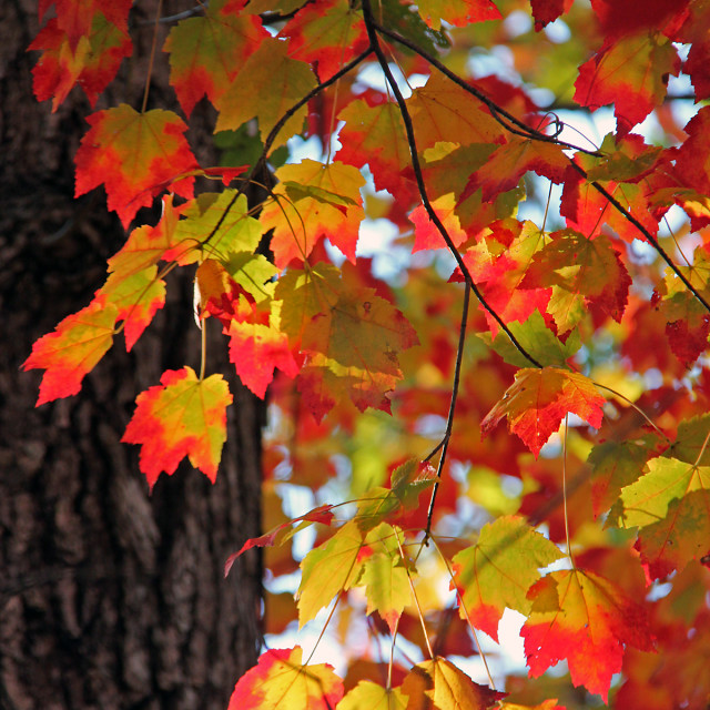 """""""Red maple, fall coloration"""" stock image"""