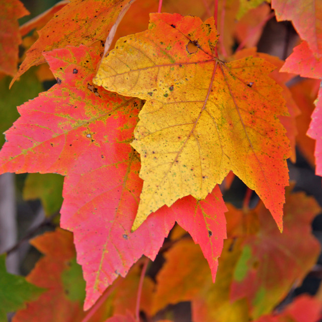 """""""Red Maple leaves, fall coloration"""" stock image"""