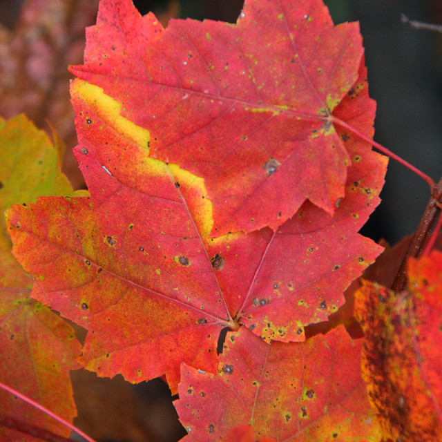 """""""Red Maple leaves, fall"""" stock image"""