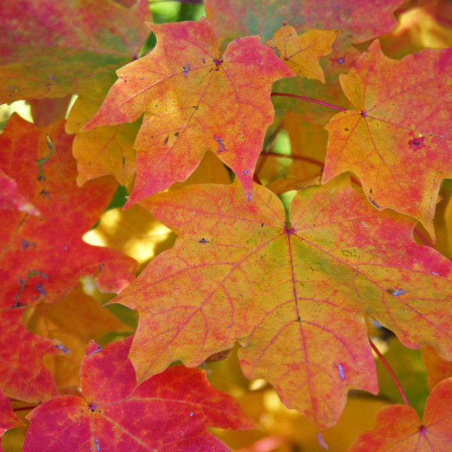 """""""Sugar maple leaves, fall coloration"""" stock image"""